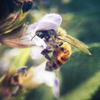 Nectar/Pollen Plants