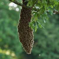 Swarm/Bee Removal